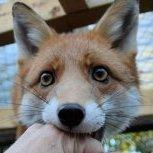 fox105